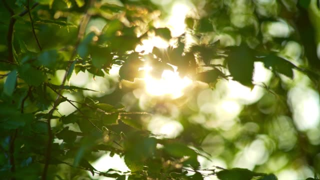 Rich green leaves of a tree waving in wind. Beautiful roundish bokeh. Sun shining through. Abstract slow motion shot