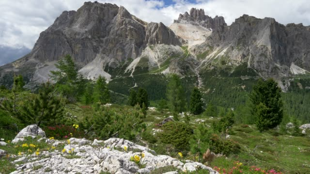 Rich green pines with cones and colorful flowers on foothills of Dolomites - Italian Alps, Italy in summer. Steadycam, 4K