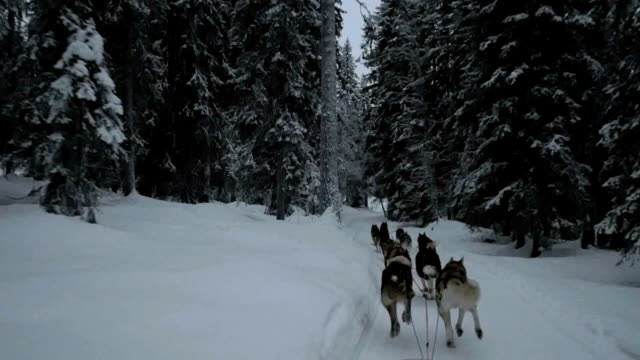 Ride with dogsled in winter forest
