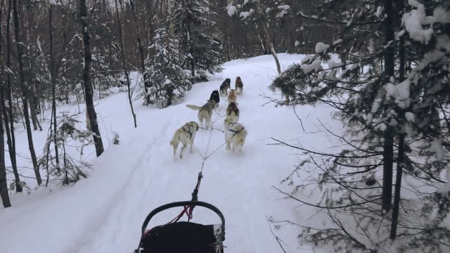 ride with sled dogs - cane husky video stock e b–roll