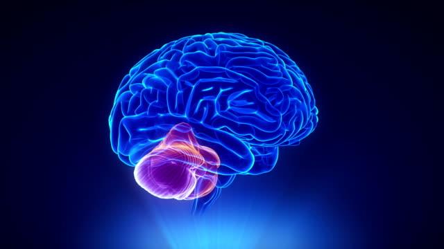 Right cerebellum in loop brain concept Medical concept cerebellum stock videos & royalty-free footage