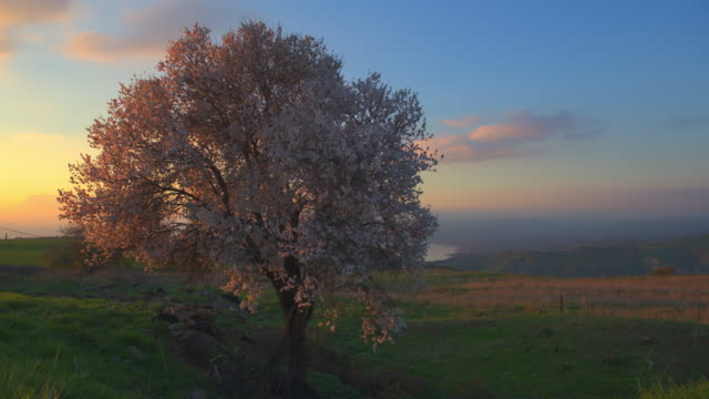 Right Pan Day to Night Time Lapse Almond Tree Blooming Golan video