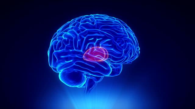 thalamus w pętli prawej mózgu koncepcji - wzgórze filmów i materiałów b-roll