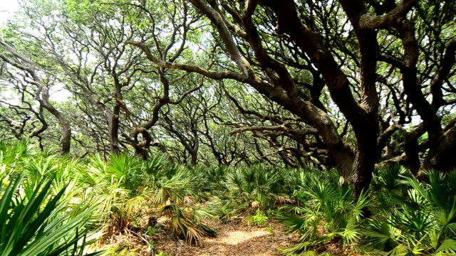 Right to Left pan of Oak and Saw Palmetto forest with trail video