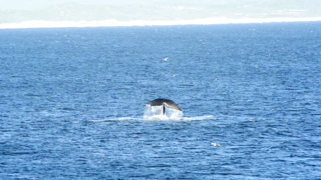 vidéos et rushes de queue de baleine - nageoire caudale
