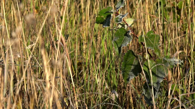 Rimy young tree seedling in high meadow grass in autumn. Closeup. FullHD video