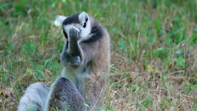 ring tailed lemur rengöring hans päls och hans fingrar genom att slicka dem - lemur bildbanksvideor och videomaterial från bakom kulisserna