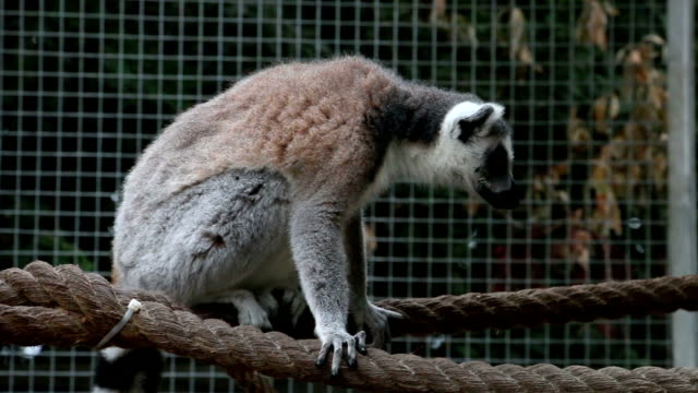Ring tailed lemur is sitting on rope in zoo looking around video