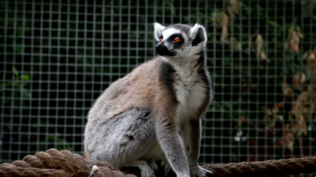 Ring tailed lemur is sitting on rope looking around video
