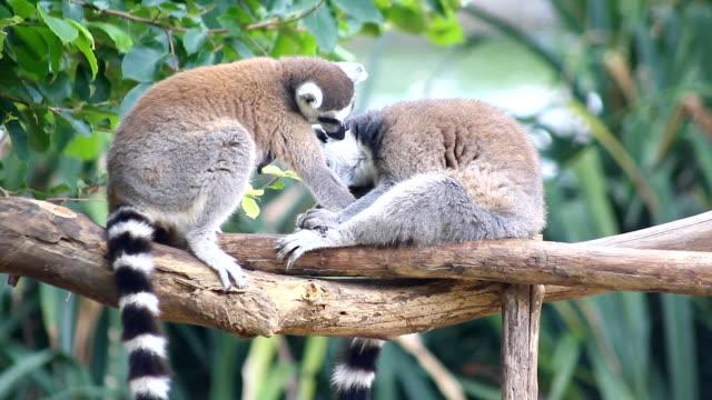 ring tailed lemur på träd - lemur bildbanksvideor och videomaterial från bakom kulisserna