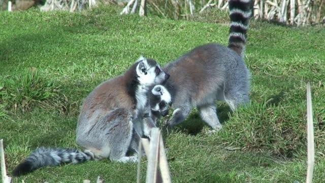 ringed tail lemurs - lemur bildbanksvideor och videomaterial från bakom kulisserna