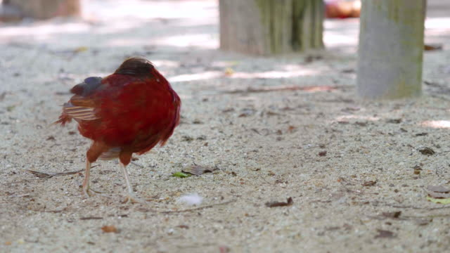 Ringneck Pheasant (Phasianus colchicus) finding food on the ground. Ringneck Pheasant (Phasianus colchicus) finding food on the ground. videos of dogs mating stock videos & royalty-free footage