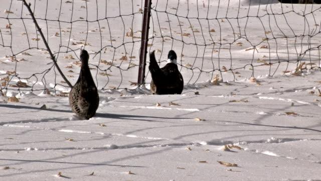 Ringneck Pheasants in snow video
