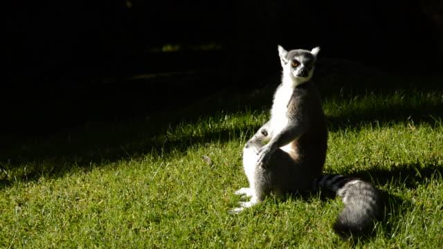 ringtail lemur sola - lemur bildbanksvideor och videomaterial från bakom kulisserna