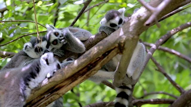 ring-tailed lemur group. - lemur bildbanksvideor och videomaterial från bakom kulisserna