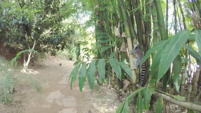 ring-tailed lemur i madagaskar skog - lemur bildbanksvideor och videomaterial från bakom kulisserna