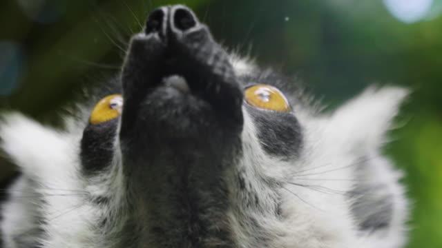 ringstjärtad lemur (lemur catta) är en stor art primat och mest igenkänd lemur tack vare dess långa, svart och vit ringad svan. - madagaskar bildbanksvideor och videomaterial från bakom kulisserna