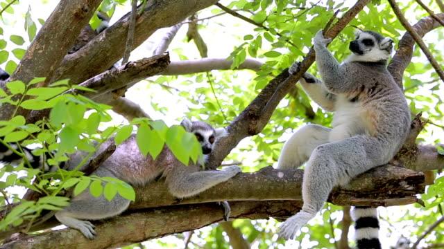 ring-tailed lemur. - lemur bildbanksvideor och videomaterial från bakom kulisserna