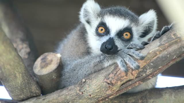 ring-tailed lemur - lemur bildbanksvideor och videomaterial från bakom kulisserna