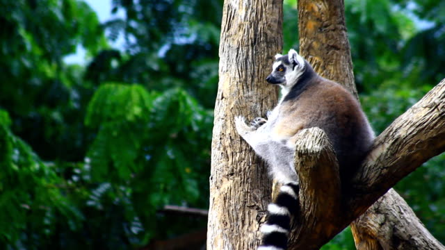 Ring-tailed lemur video