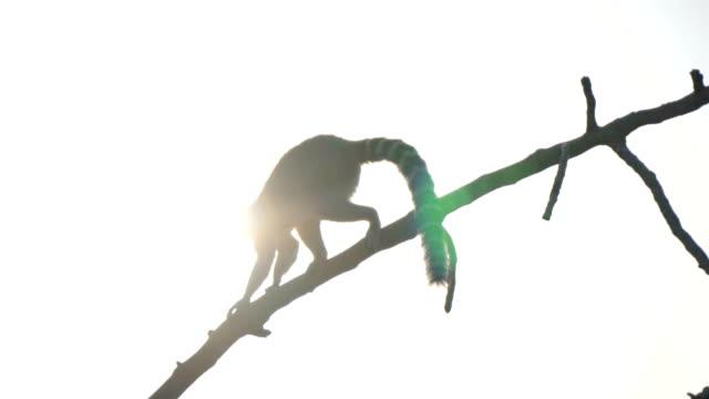 ring-tailed lemur promenader på träd i nationalparken. - lemur bildbanksvideor och videomaterial från bakom kulisserna