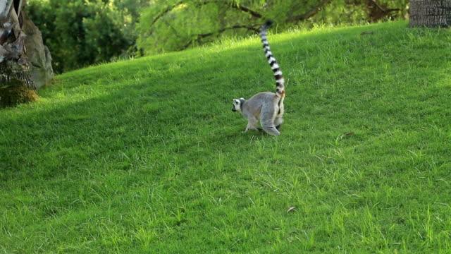 ring-tailed lemur promenader - lemur bildbanksvideor och videomaterial från bakom kulisserna
