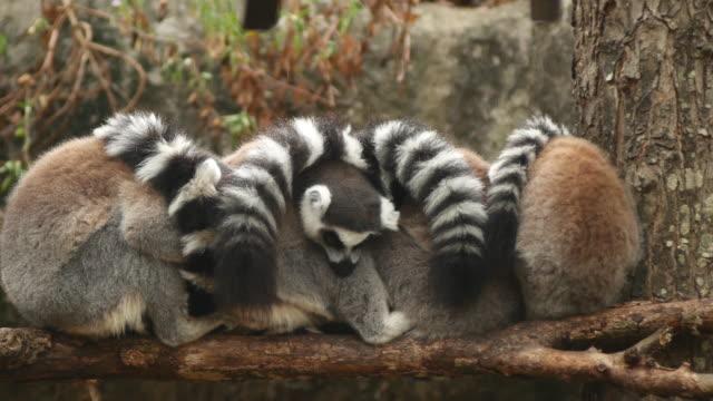 ring-tailed lemures (lemur catta) sover i en grupp nära varandra - lemur bildbanksvideor och videomaterial från bakom kulisserna