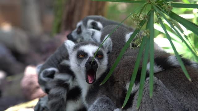 ring-tailed lemurs huddled tillsammans - lemur bildbanksvideor och videomaterial från bakom kulisserna