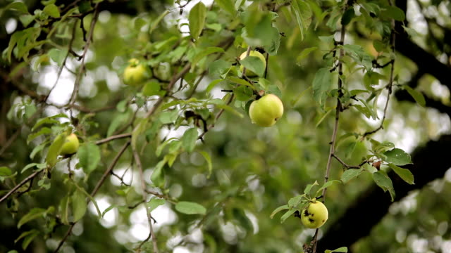 Ripe apples after the rain video