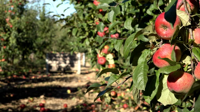 ripe apples hanging on a branch at orchard. video