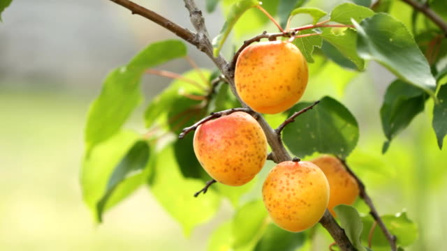 Ripe apricots in orchard video