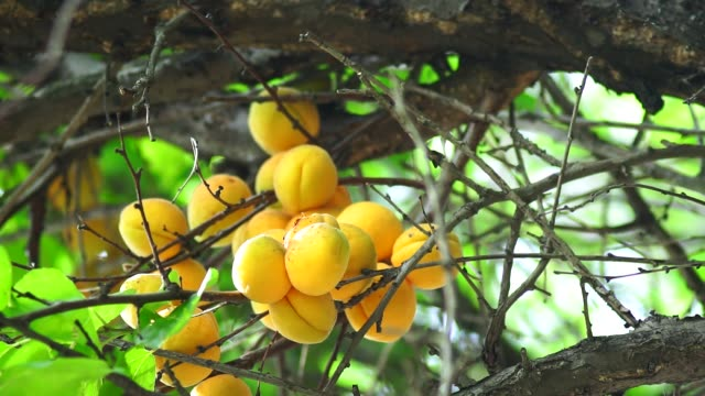 ripe apricots on a tree branch closeup. organic ripe harvest fruit in the garden in summer - albicocca video stock e b–roll