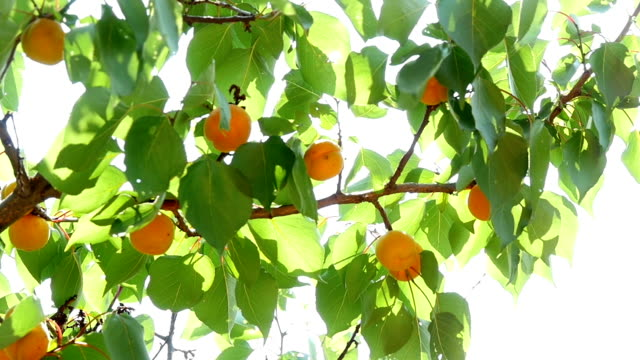 Ripe Apricots On Tree Branch Slow Motion video