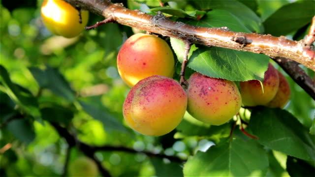 спелые абрикосов на дерево - абрикос стоковые видео и кадры b-roll