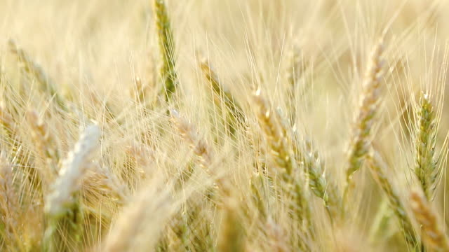 Ripe barley on the field on late summer afternoon, sunset backlight, shallow depth ot the field video