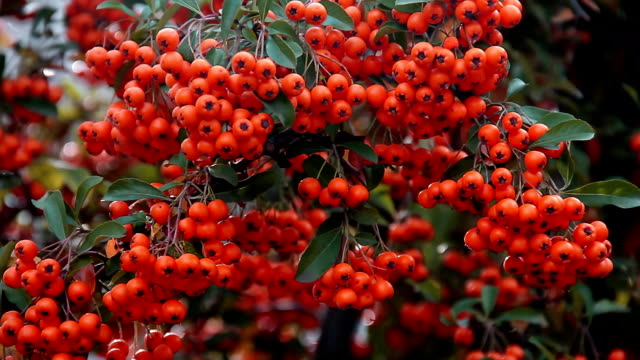 Ripe berries of orange colors sways from wind on branch video