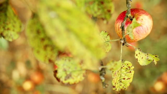 HD: Reife Bio Äpfel – Video