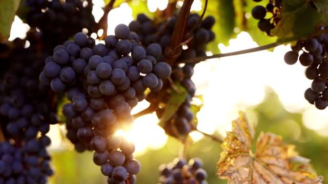 vídeos de stock e filmes b-roll de ripe blue grapes in the vineyard with sunlight - grapes