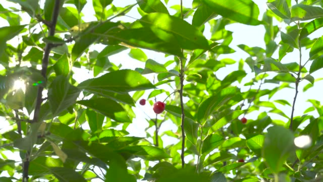 A ripe cherry berry hangs on a tree against the background of leaves and sunlight. Summer.