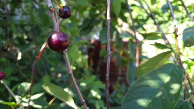 ripe cherry berry on a sunny summer day, slow motion 4k video - albicocco video stock e b–roll