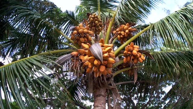 ripe coconuts falling from the crown of a palm tree, maldives - кокос стоковые видео и кадры b-roll