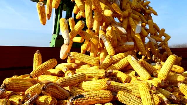 ripe corn cob picking - kukurydza zea filmów i materiałów b-roll
