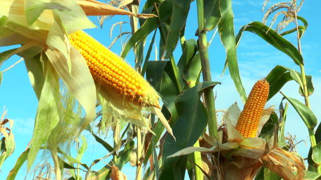 Ripe corn video