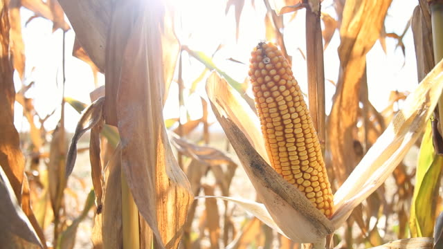 HD DOLLY: Ripe Corns On The Cob video