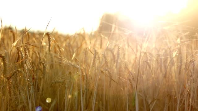 Ripe ears of wheat in the field wave on a wind video