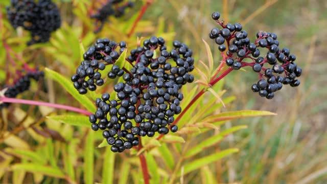 Ripe elderberry bush,elderberry berry.
