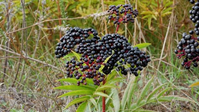 Ripe elderberry,industrial product elderberry,elderberry bush.