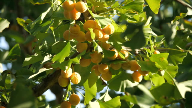 Ripe ginkgo nuts under morning sun in autumn Tokyo,Japan-September 24, 2019: Ripe ginkgo nuts under morning sun in autumn ginkgo tree stock videos & royalty-free footage