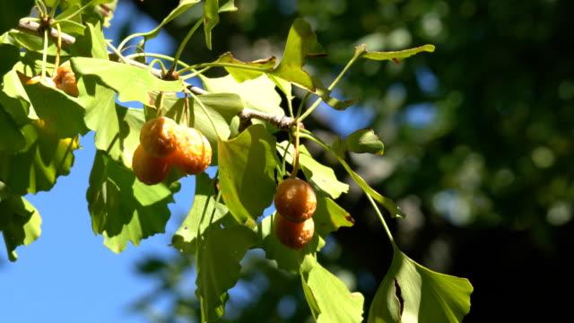 颱風過後的秋天,在晴朗的陽光下,在清澈的陽光下,成熟的銀杏果 - 銀杏樹 個影片檔及 b 捲影像