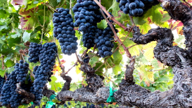 Ripe Grape Clusters on the Vine. A Vineyard Ready for Harvest. video